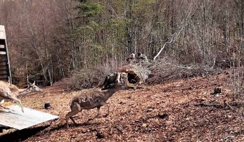 Povratak evropskog jelena na Kopaonik
