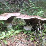 Gljivarska staza